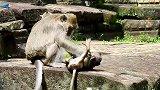 可怜的小猴子害怕失去香蕉,如果不运动就没有香蕉吃