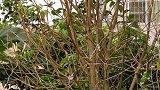 第一次看见蜂鸟剥树皮,你知道用来做什么的吗?