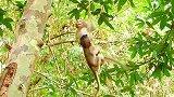 天气太炎热了,聪明的小猴子托比亚斯独自喝水,小伙伴也跟过来
