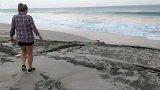 发现巨大绿色海龟被困在岩石之间,费了九牛二虎之力才救出大海龟