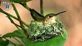 甜蜜的蜂鸟家庭的故事,筑巢至养雏鸟,镜头实拍