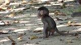 命运坎坷的托比亚斯无缘无故遭到猴妈妈的毒打,让人心疼!