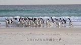 海豹追捕小企鹅,谁知企鹅逃跑的姿势,让人忍不住笑喷!