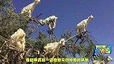 绝对不是PS,山羊爬到树上活蹦乱跳比大师兄还厉害!