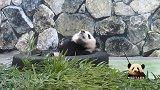 熊猫宝宝舒舒服服地躺在轮胎里,悠然自得卖个萌,可爱得不得了