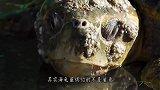 """海龟最怕的不是鲨鱼,而是这种""""东西"""",遇见就只有等死!"""