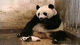 宠物乐园-20110829-熊猫宝宝打喷嚏吓到熊猫妈妈
