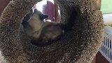 暹罗猫面对一个新的猫爬架时候的反应