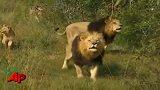 南非奇人狮语者凯文—凶猛的大雄狮比猫还温顺