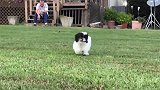 猫咪在地上趴着,主人让干嘛就干嘛,怎么会这么听话!