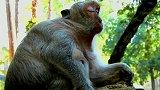 流产的母猴感到悲伤和深深的忧虑,它又想它的小孩啦!