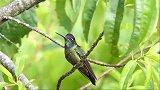 哥斯达黎加的鸟类:一种非常漂亮蜂鸟,叫声也很好听