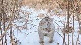 听说过雪橇犬雪地解锁,猫咪也会这样吗