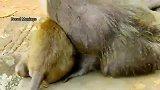 小猴子不让蒂姆喝奶,蒂姆伤心的大哭