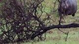 如果在野外遇到河马,该怎么做?