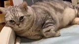 猫咪面对主人的抱歉,表现的居然这么冷漠,现在可怎么办呀!