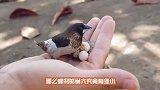 蜂鸟很小,那么蜂鸟的巢穴究竟有多小里面有个超级迷你蜂鸟蛋