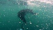 """超震撼蝠鲼视频-海洋生物学家与蝠鲼""""亲密接触"""""""